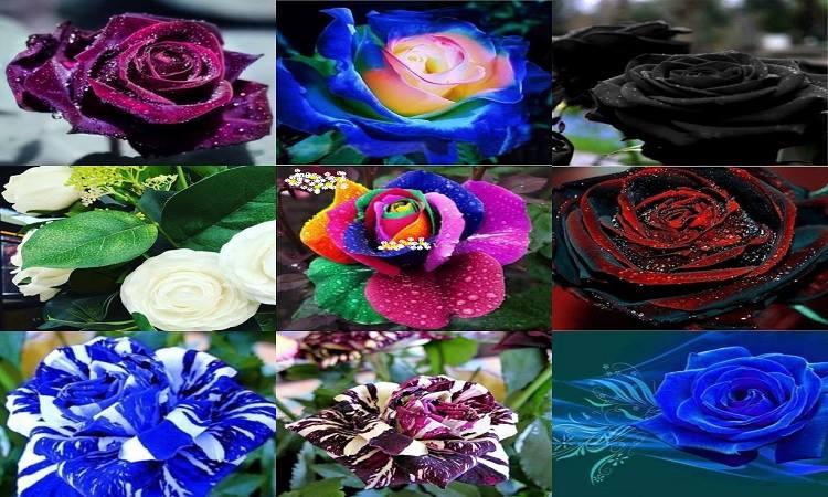 8087dc2f8d As rosas evoluíram em sua maneira de se comunicar através de suas cores. E  cada uma tem uma mensagem